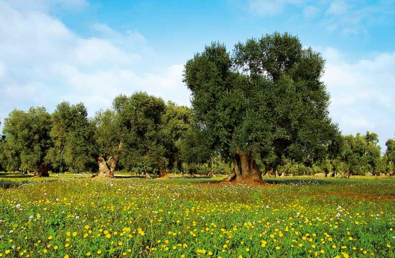 Puglia - ulivi secolari
